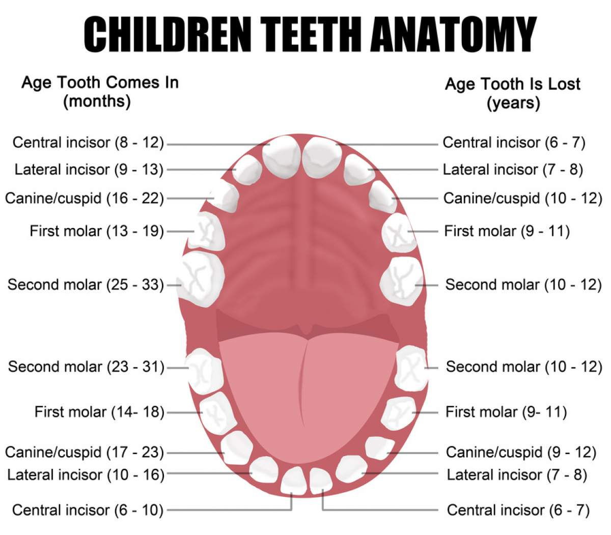 Children Teeth Anatomy Houston Dental Houston Dentist 713 597 7880
